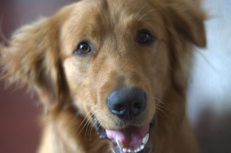 The cutest Golden Retriever EVAH!!