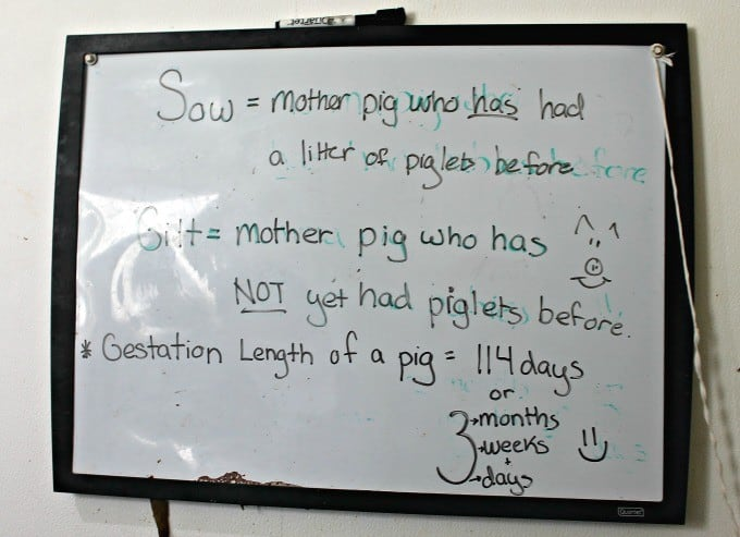 Pig-White-Board