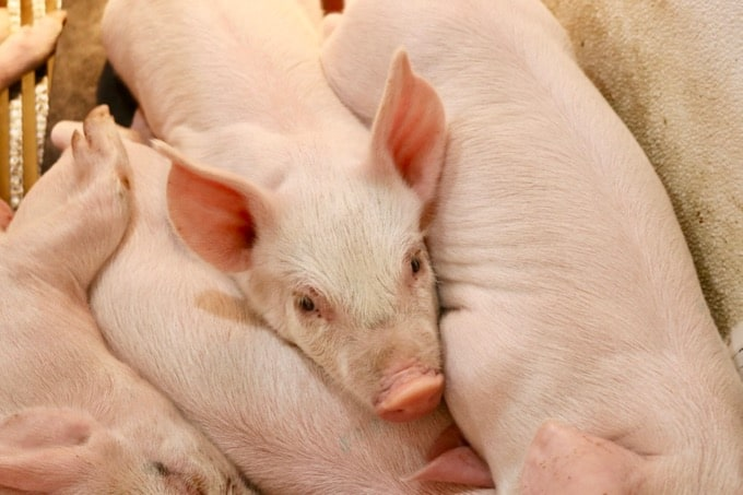 In Sioux Falls, SD, I was able to learn about all things pig and see first-hand life on a pig farm with the National Pork Board. What does it mean for you?