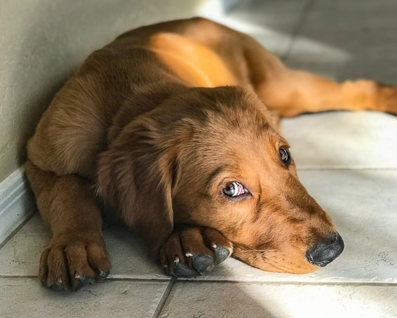 Logan the Golden Dog.
