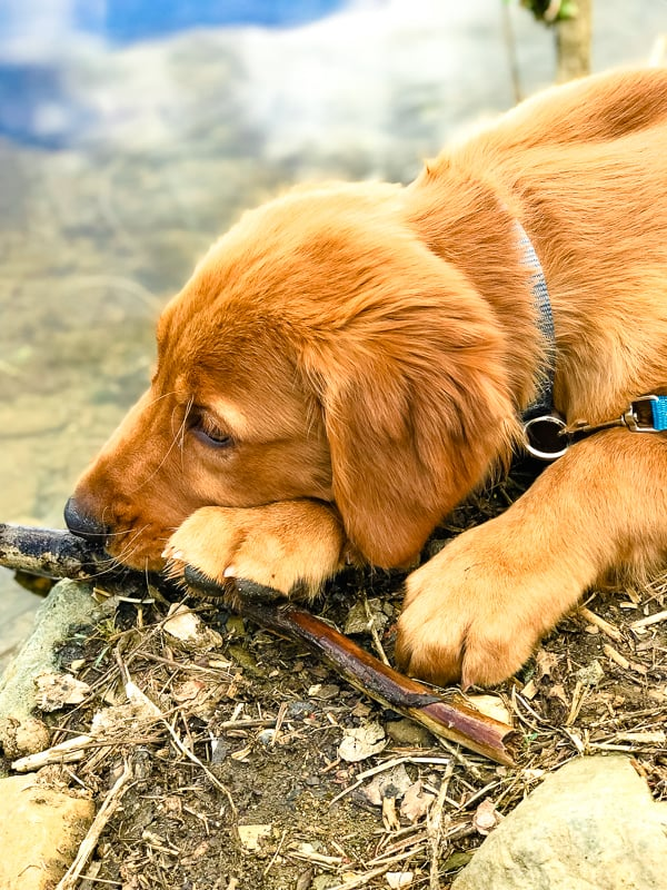Logan the Golden Dog with a stick at Lynx Lake in Prescott, AZ