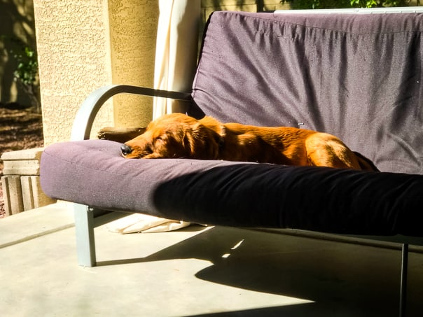 Logan the Golden Dog of Furry Friend Friday lounging in the sun.