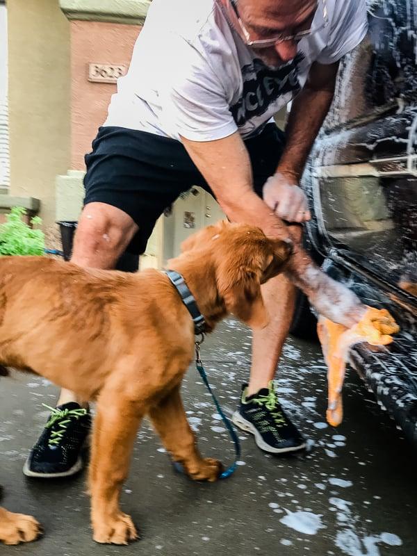 Logan the Golden Dog helping wash the car.