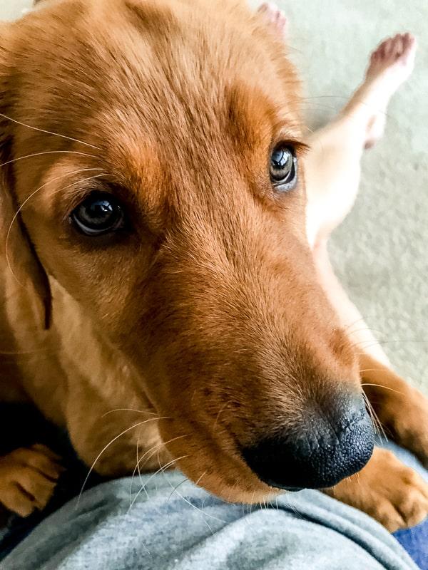 Logan the Golden Dog, a Golden Retriever, giving puppy dog eyes.