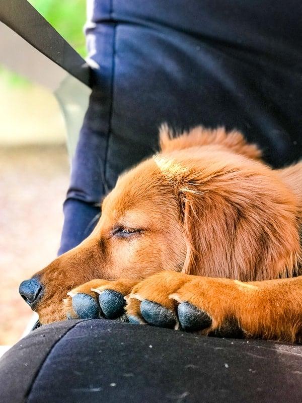 Logan the Golden Dog, a Golden Retriever, resting.