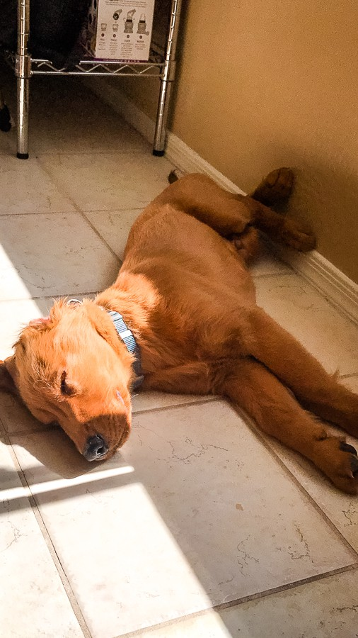 Logan the Golden Dog, a Golden Retriever, sleeping.