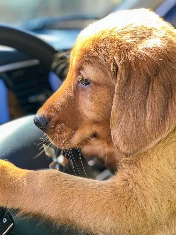 Furry Friend Friday - Logan the Golden Dog with Mitsubishi Outlander steering wheel.