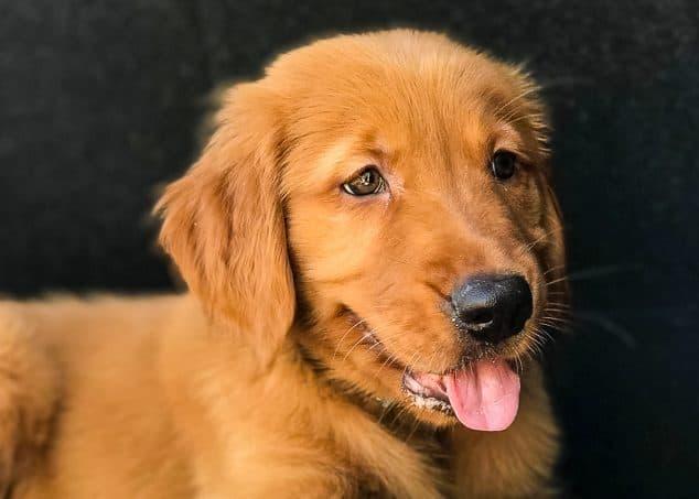 Furry Friend Friday - Logan the Golden Dog in a Mitsubishi Outlander trunk