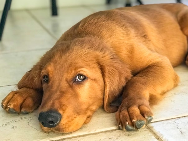 Logan the Golden Dog, a Golden Retriever, wanting to be left alone.
