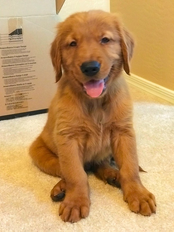 Furry Friend Friday - Logan the Golden Dog, 8 weeks old.