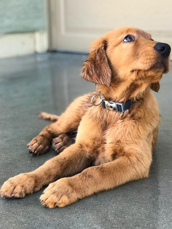 Furry Friend Friday - Logan the Golden Dog wet from rain during Hurricane Rosa