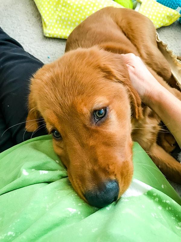 Logan the Golden Dog, a Golden Retriever, snuggling.
