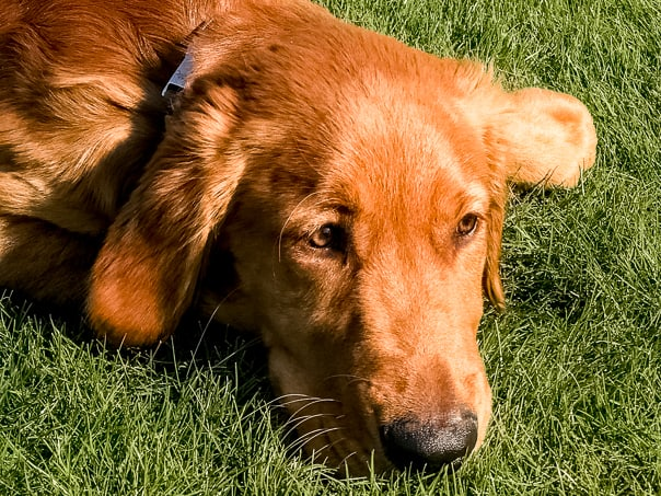 Logan the Golden Dog in the grass.