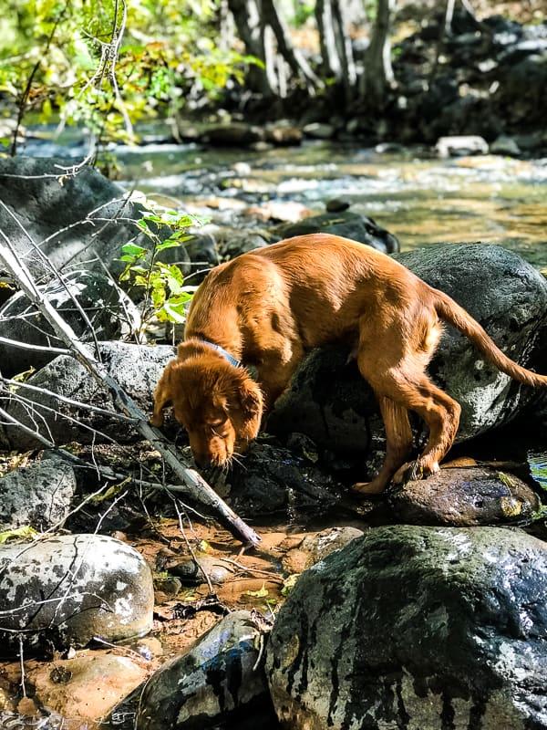 Logan the Golden Dog having fun at Clear Creek, AZ.