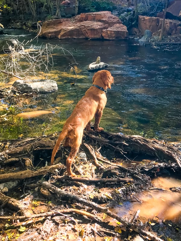 Logan the Golden Dog in full retriever mode at Clear Creek, AZ.