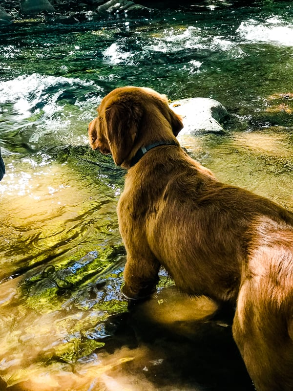 Logan the Golden Dog looking at Clear Creek in AZ.