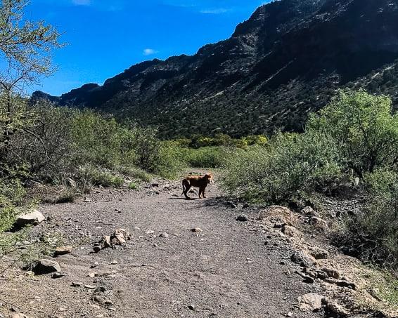 Logan the Golden Dog on a hike at Clear Creek, AZ.