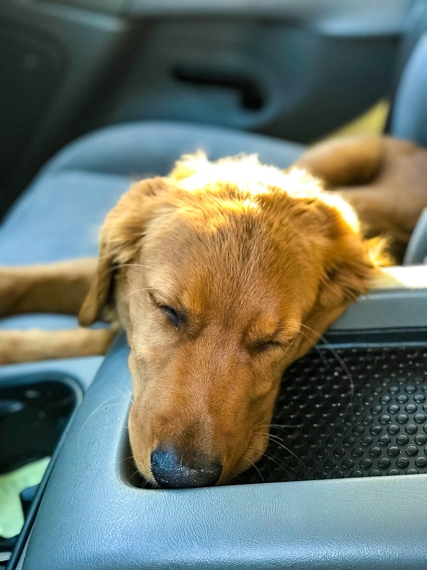 Logan the Golden Dog asleep in the car.