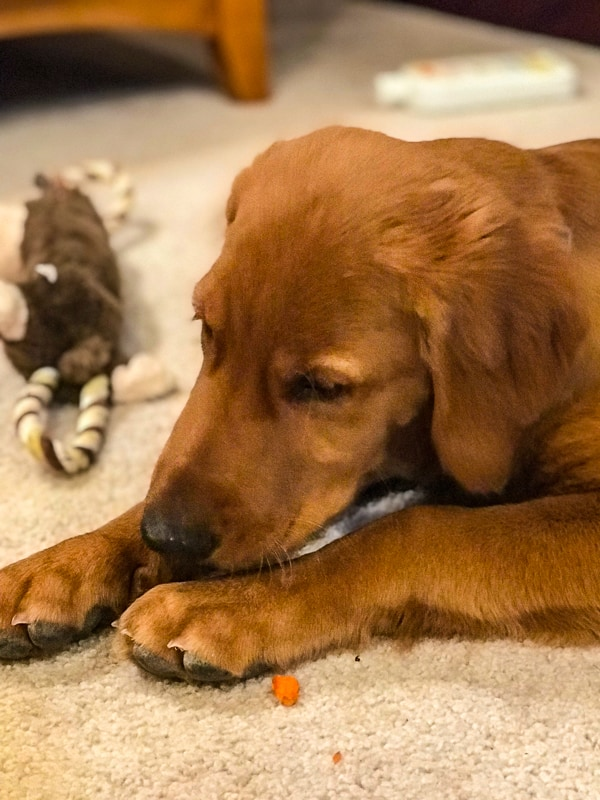 Logan the Golden Dog enjoying his first taste of carrot.