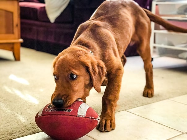 Logan the Golden Dog playing with his first football.