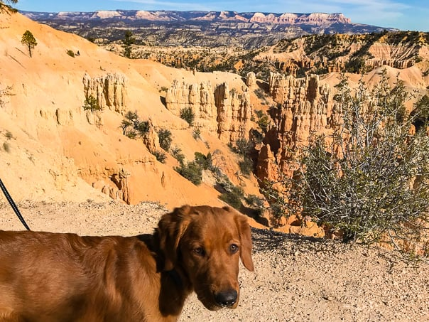 Logan the Golden Dog at Bryce Canyon Rim Trail.