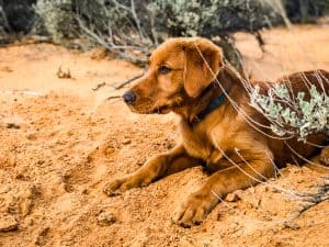 Logan the Golden Dog at Yellow Knolls Trail, St. George, Utah.