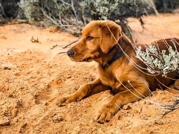 Logan the Golden Dog at Yellow Knolls Trail, St. George, Utah.