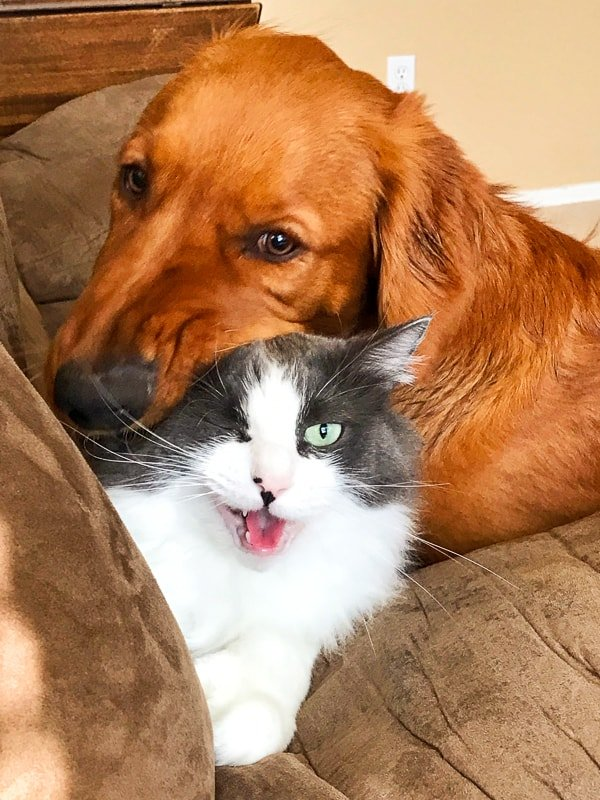 Logan the Golden Dog loving on Winnie the cat.