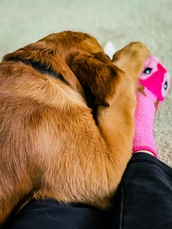 Logan the Golden Dog chewing his bone while snuggling mom.