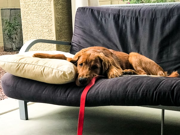 Logan the Golden Dog relaxing on a futon.