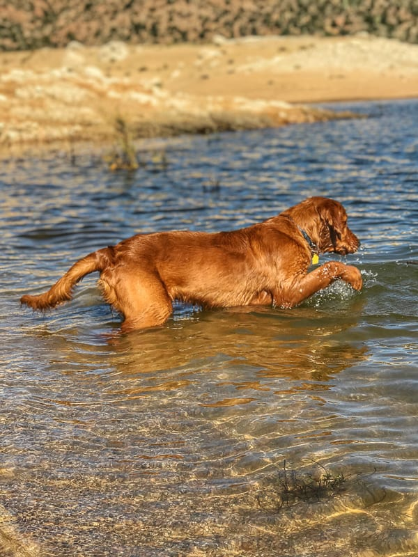 Logan the Golden Dog paddling in the water at Bartlett Reservoir, AZ.