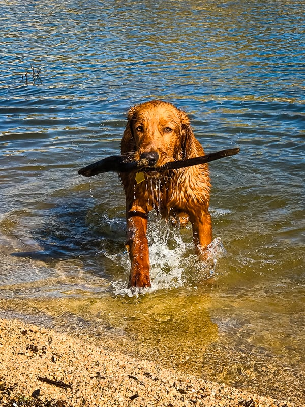 Logan the Golden Dog carrying a stick at Bartlett Reservoir, AZ.