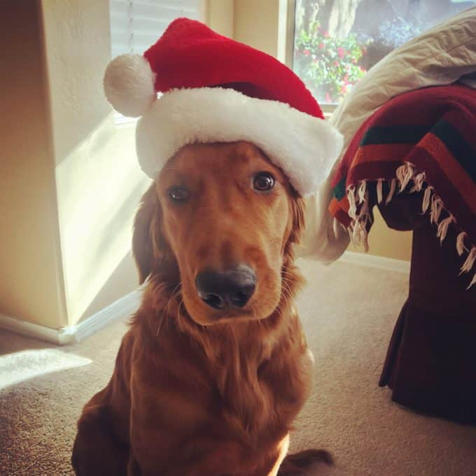 Logan the Golden Dog wearing a Santa hat.