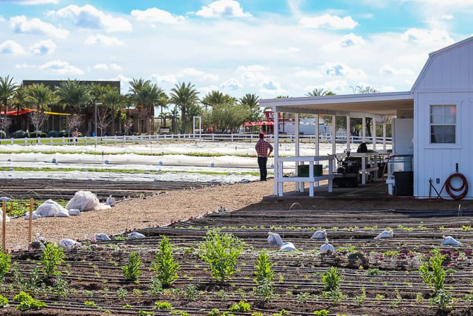 Farmer Erich Schultz looking over his Steadfast Farm, Mesa, AZ.