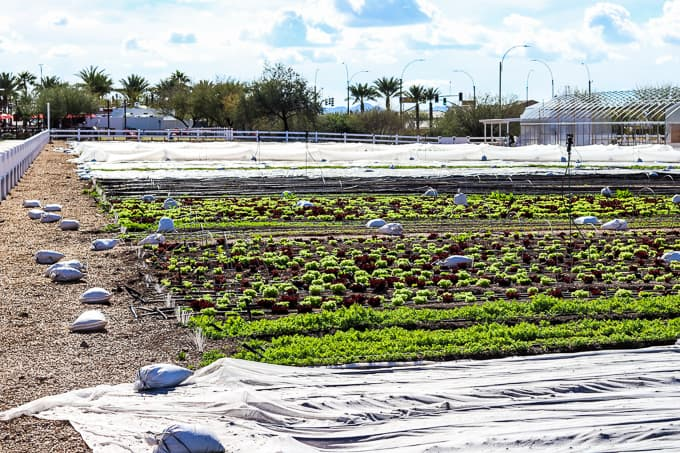 Rows of lettuce and carrots growing at Steadfast Farm, Mesa, AZ.