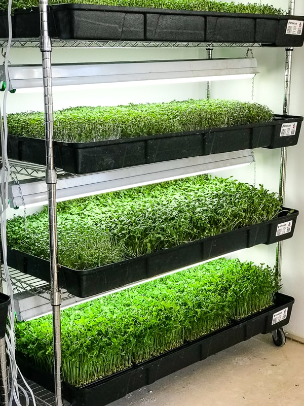 Micro-Greens growing at Steadfast Farm in Mesa, AZ.