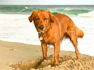 Logan the Golden Dog digging in the sand at Quonochontaug Beach, RI