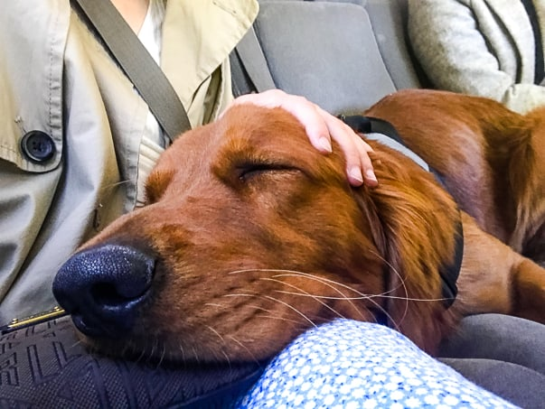 Logan the Golden Dog - Mother's Day, asleep in the car on our daughter's lap.