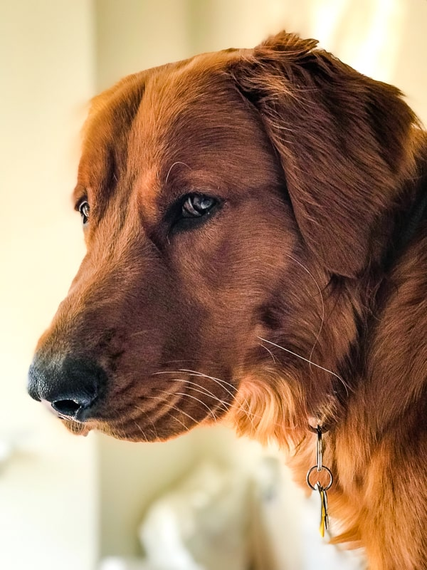 Logan the Golden Dog - Mother's Day, giving the side eye.