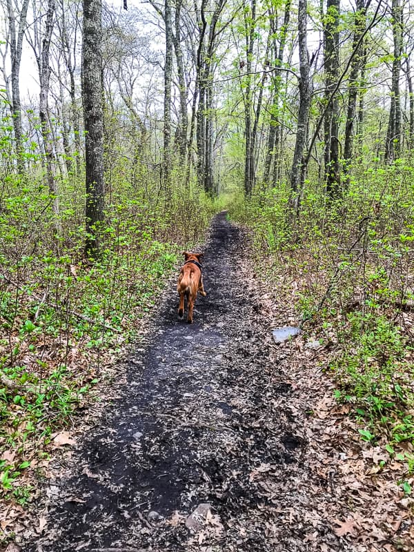 Logan the Golden Dog - Mother's Day, running on a trail.