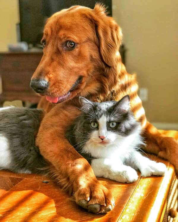 Logan the Golden Dog and Winnie the cat.