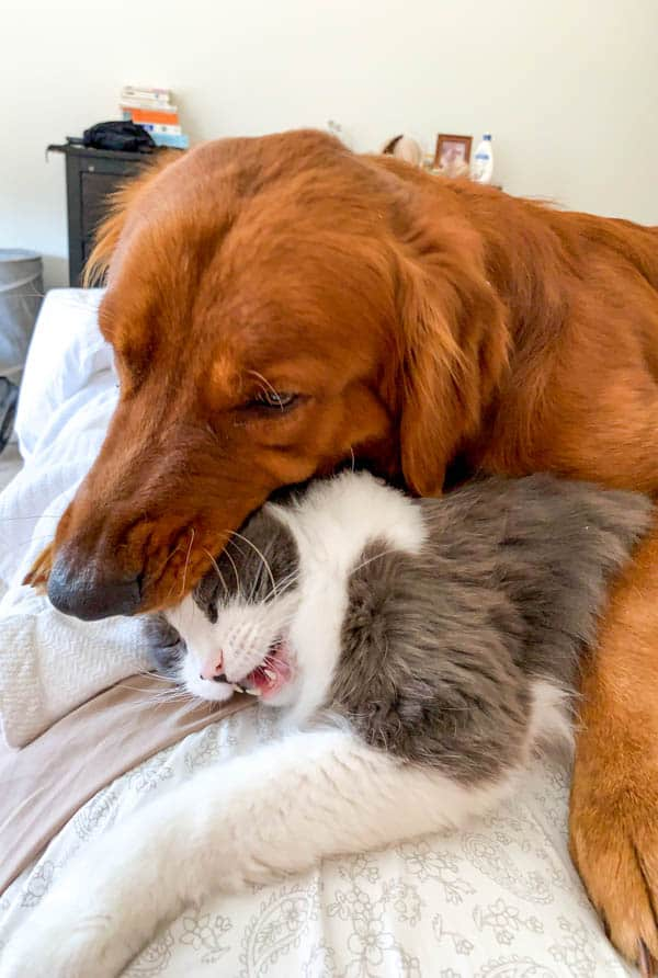 Logan the Golden Dog and Winnie the polydactyl cat.