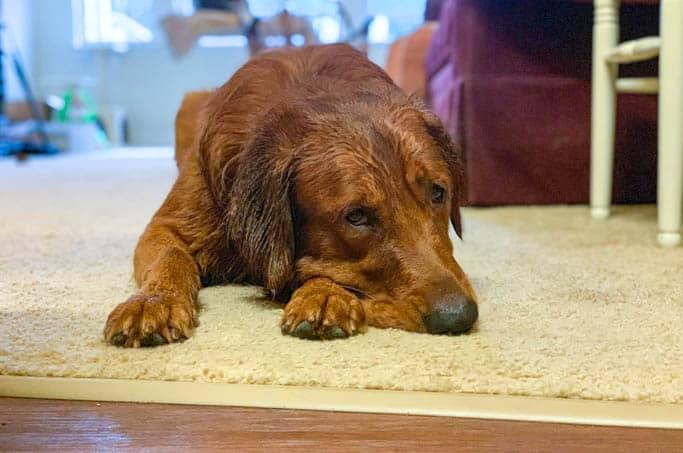 Logan the Golden Dog after a bath.