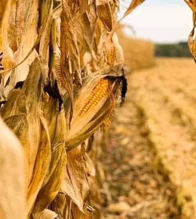 Corn stalks and an ear of corn at Kuiper farm in Iowa.